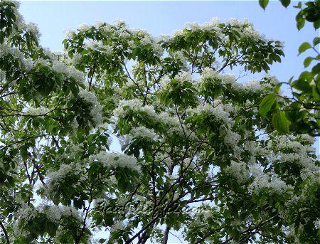 春に咲く白い花 2