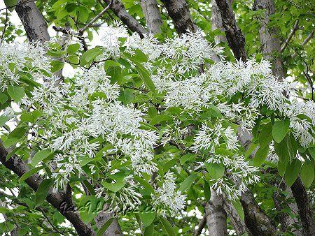 春に咲く白い花 3