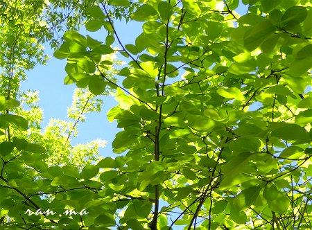 何の葉っぱか 大きな葉の新緑 が美しい 1