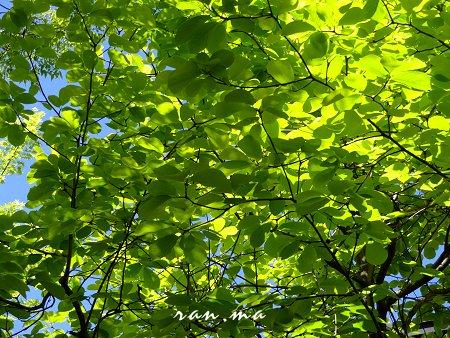 何の葉っぱか 大きな葉の新緑 が美しい 2