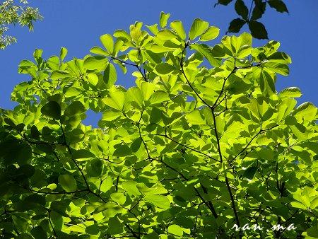 何の葉っぱか 大きな葉の新緑 が美しい 3