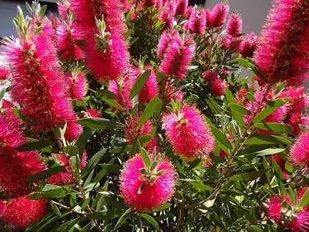 ブラシの木(ブラシノキ) 花槇(はなまき) 金宝樹(きんぽうじゅ)2