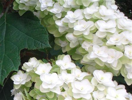 柏葉紫陽花 カシワバアジサイ1