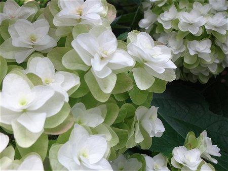 柏葉紫陽花 カシワバアジサイ2