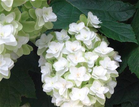 柏葉紫陽花 カシワバアジサイ3