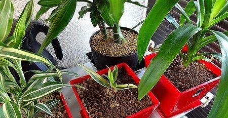 観葉植物 ショート
