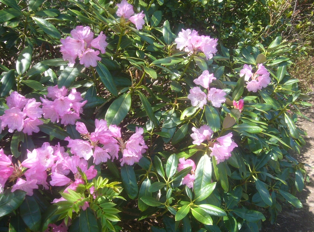 石楠花 日の当たる稜線 R1.5.04