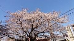 総会&桜満開