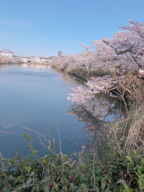 sasayama_sakura2
