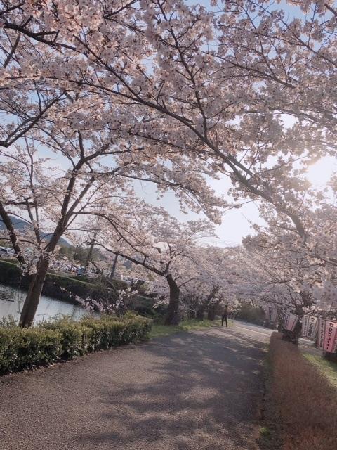 sasayama_sakura4