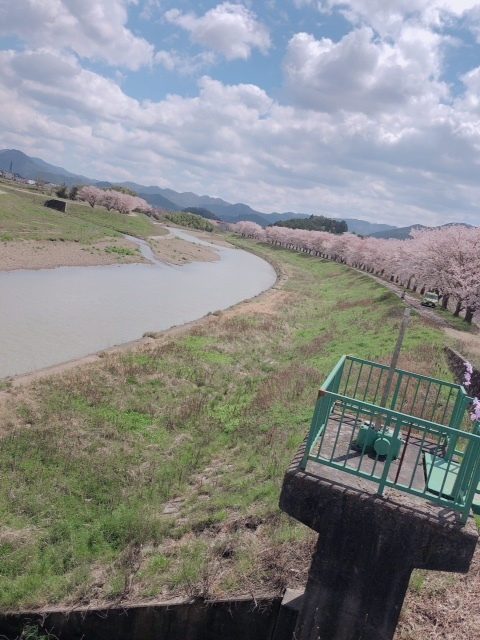 sasayama_sakura6
