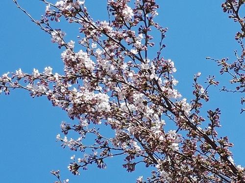 H310417児童公園の桜開花