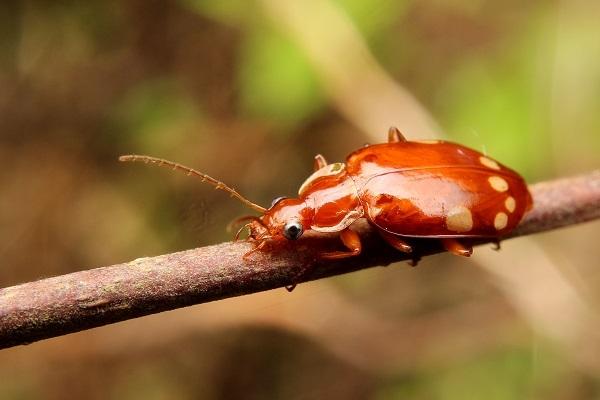 ヤホシゴミムシs