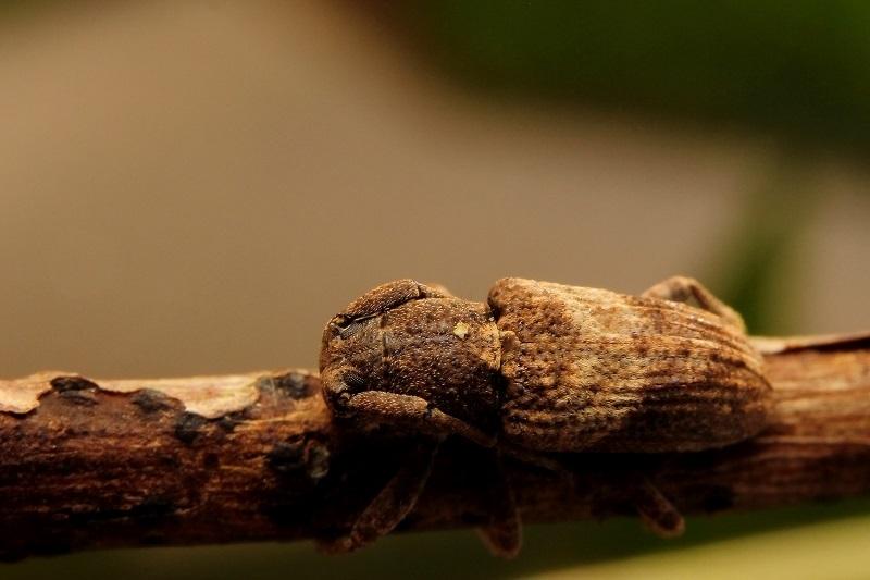 アベサビカミキリs