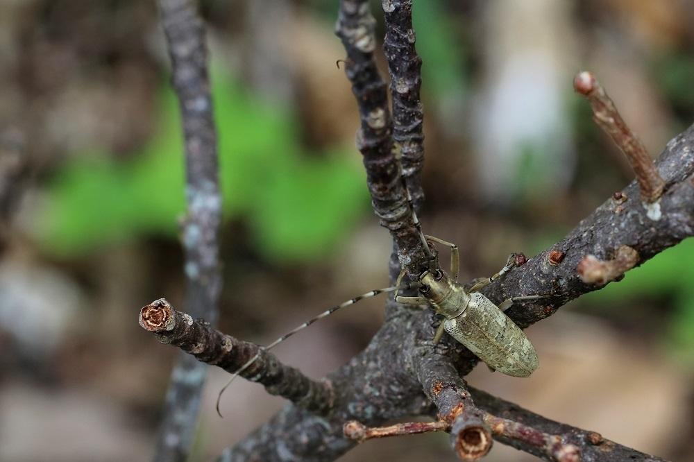 オキナワキボシカミキリs