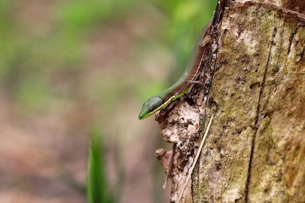 アオカナヘビs