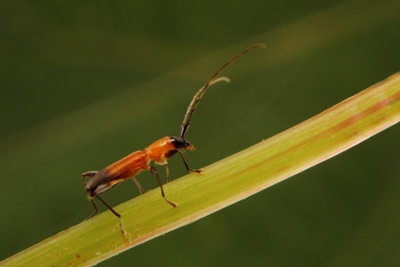 ツマグロアメイロカミキリ3s