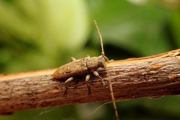オキナワアヤモンチビカミキリs