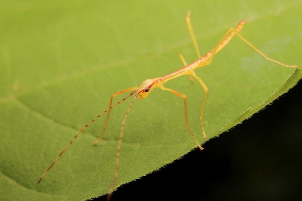 エダナナフシ幼虫2s
