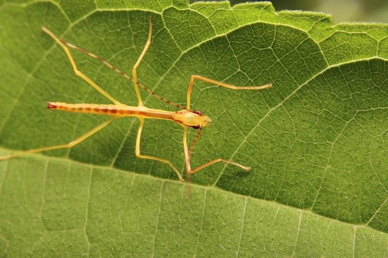エダナナフシ幼虫s