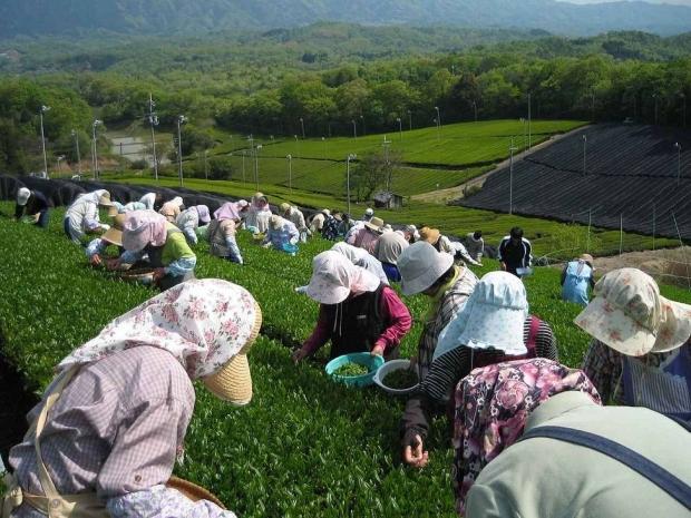 s-s-1280px-Tea_picking_01aaaaa.jpg