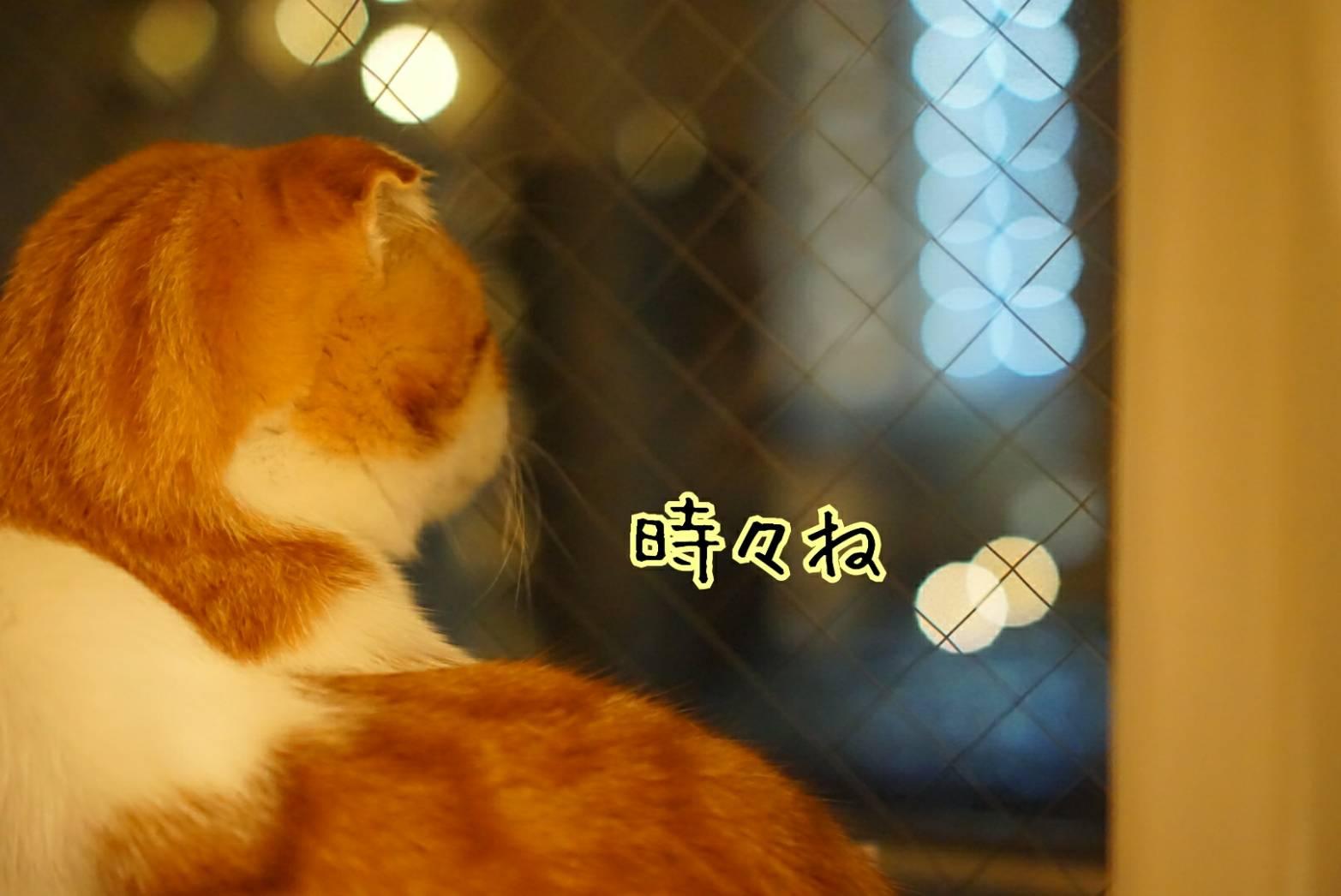 窓に佇むだるま13