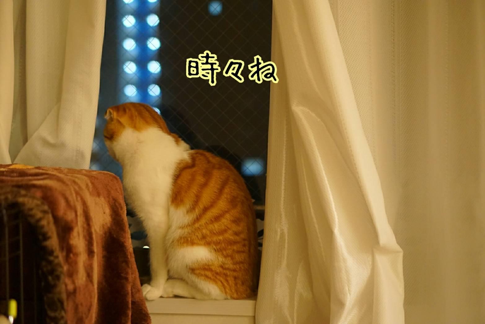 窓に佇むだるま15