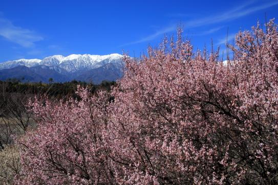 青空に映える紅梅と空木岳・南駒ヶ岳・仙涯嶺