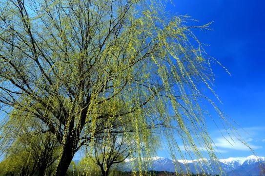 青空に映える萌える柳と西駒ヶ岳