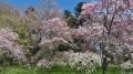 きょうの青葉山、花見会場