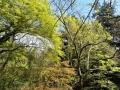 黄色い森(オニイタヤ)