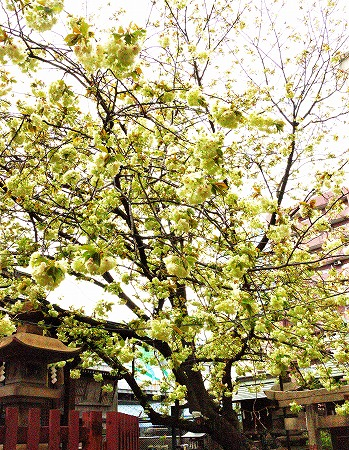 s-柳森神社DSC_2508_01