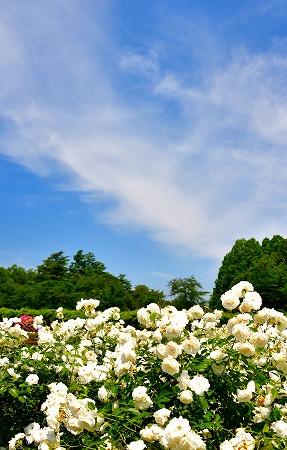 s-神代植物公園マクロDSC_3454_03