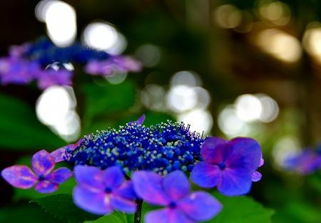 s-シーパラ紫陽花DSC_4115_01