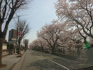 将監沼の桜並木