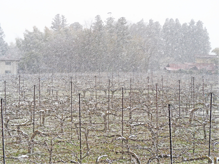 吹雪の梨畑