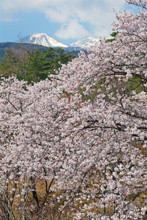 吾妻山とサクラ