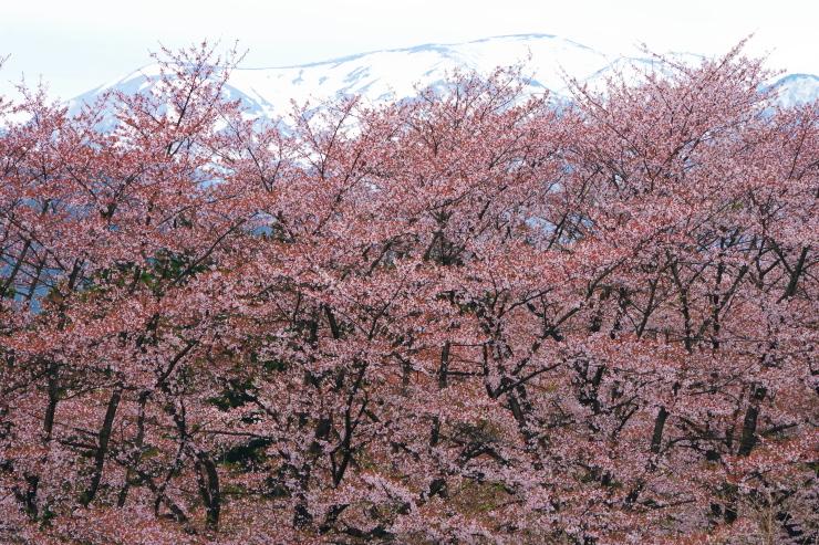 桜と一切経山
