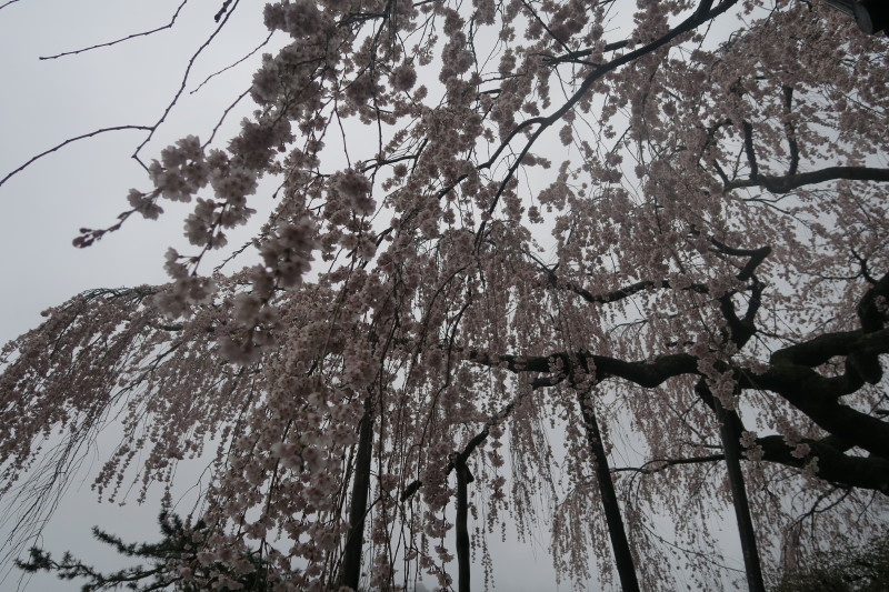 手植えの桜