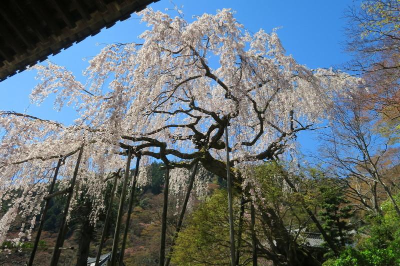 枝垂桜晴れ
