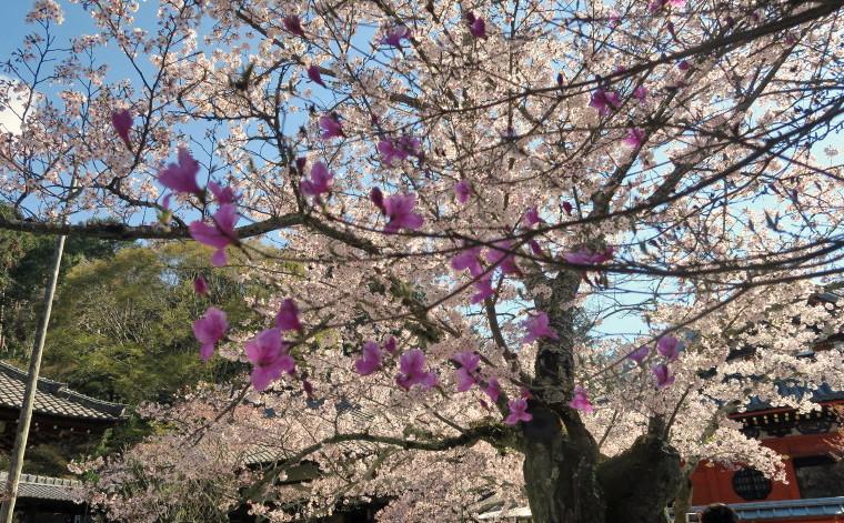 桜とツツジ2