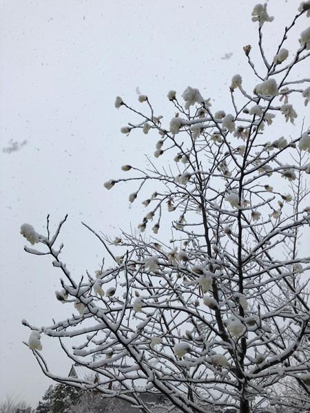 コブシに雪