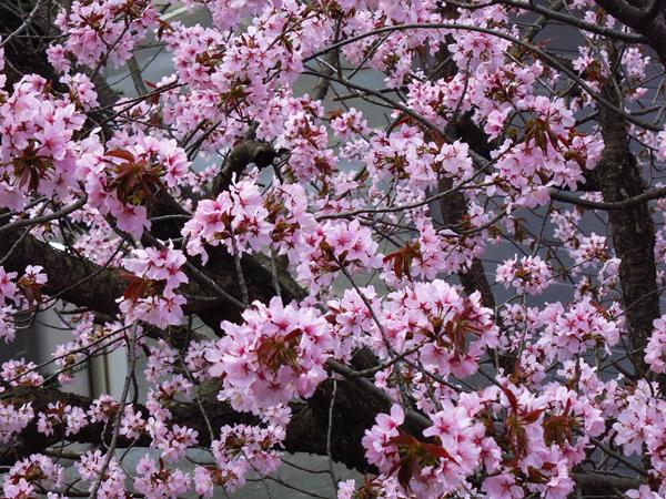 2019 蝦夷山桜