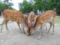 190623せんべいに群がる鹿