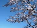 190420山の桜はまだまだ見頃