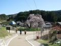 190420しだれ桜遠景