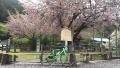 190427花散る黒田百年桜