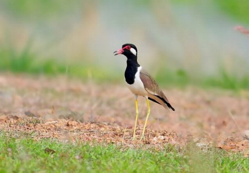 Kra-Tae-Taae-Wad bird (1)