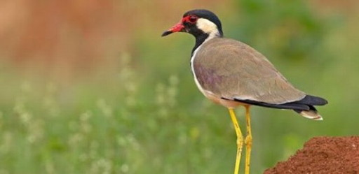 Kra-Tae-Taae-Wad bird (3)