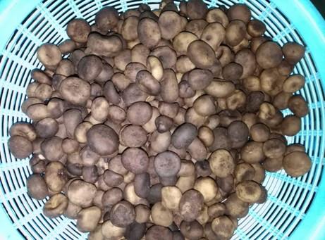 Phao mushroom (2)